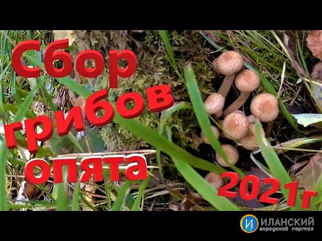 СБОР ГРИБОВ ОПЯТА-Собираем грибы опята в Иланском районе Красноярского края