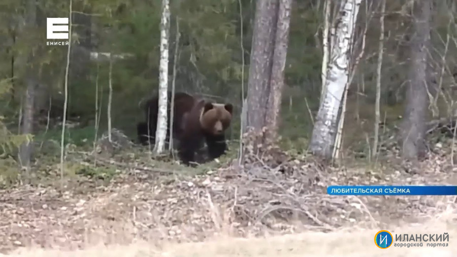 Медведь вышел к людям рядом с деревней Тарай в Иланском районе